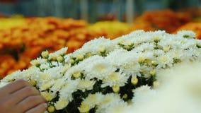 Kvinnliga händer justerar blommor i en stor bukett Arbete i shoppar eller blommar barnkammaren, närbild arkivfilmer