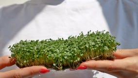 Kvinnliga händer med röd manikyr rymma nya gröna groddar av arugula Sund mat, microgreens som hemma brukar lager videofilmer