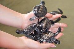 Kvinnliga händer rymmer små sköldpaddor Att bry sig för nyfödd sköldpadda i forskningsprojektet för beskydd för havssköldpaddor i royaltyfria foton