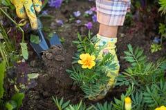 Kvinnliga händer som planterar blomman av ringblomman i jordning i blommaGar arkivfoton