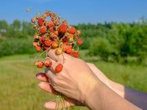 Kvinnliga händer som rymmer en grupp av mogna bär av lösa röda jordgubbar Doftande söta organiska gåvor av naturen arkivbilder