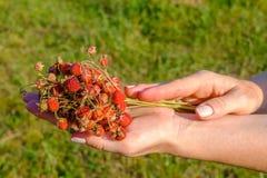 Kvinnliga händer som rymmer en grupp av mogna bär av lösa röda jordgubbar Doftande söta organiska gåvor av naturen royaltyfri foto