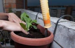 kvinnliga h?nder planterar blommor i krukan med jord p? balkongen arkivbild
