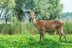 Kvinnliga hjortar i natur Arkivfoton