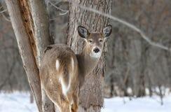 Kvinnliga hjortar i skog Royaltyfri Fotografi