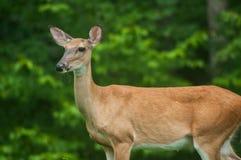 Kvinnliga hjortar med skogbakgrund Royaltyfri Foto