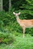 Kvinnliga hjortar med skogbakgrund Royaltyfria Bilder