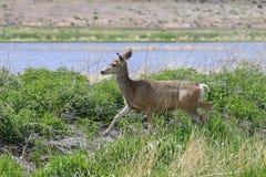 Kvinnliga hjortar på gå Royaltyfri Foto