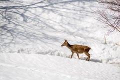 Kvinnliga hjortar som går i snön på vinter i en parkera Fotografering för Bildbyråer
