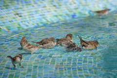 Kvinnliga lösa sparvar som har ett fågelbad i grunt simbassängvatten arkivbild
