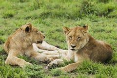 Kvinnliga lejon (pantheraen leo) som ligger på gräs Royaltyfri Foto