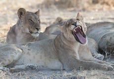 Kvinnliga lions fotografering för bildbyråer