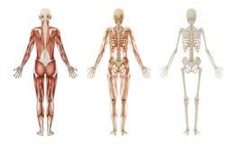 Kvinnliga människamuskler och skelett Arkivfoto