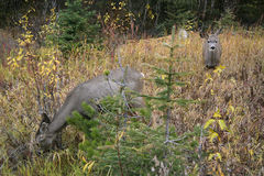 Kvinnliga mulahjortar, kanadensiska steniga berg Arkivbilder