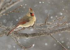 Kvinnliga nordliga kardinalCardinalis cardinalis som sätta sig i en snöstorm arkivfoto