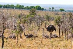Kvinnliga Ostriches Fotografering för Bildbyråer
