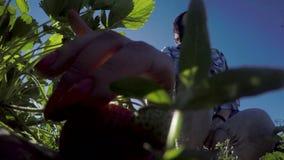 Kvinnliga plockningjordgubbar från busken stock video