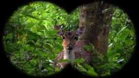 Kvinnliga prickiga hjortar kallade också sedd igenom kikare för den Chital eller Cheetal axeln axeln Hållande ögonen på djur på d arkivfilmer