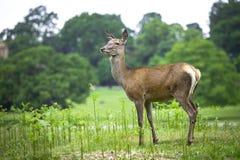 Kvinnliga röda hjortar Royaltyfria Bilder
