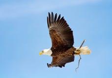 Kvinnliga skalliga Eagle som bär en pinne Fotografering för Bildbyråer