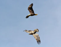 Kvinnliga skalliga Eagle som jagar en tonåring Arkivbilder