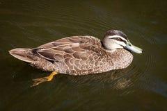 Kvinnliga Stillahavs- svarta Duck Swimming Arkivfoton