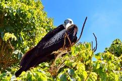 Kvinnliga storartade Frigatebird Arkivfoto