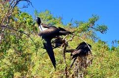 Kvinnliga storartade Frigatebird Royaltyfri Foto