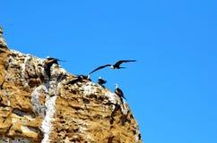 Kvinnliga storartade Frigatebird i flykten Royaltyfria Bilder