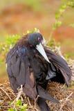 Kvinnliga storartade Frigatebird på norr Seymour Island, Galapago Arkivfoton