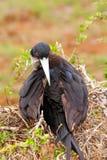 Kvinnliga storartade Frigatebird på norr Seymour Island, Galapago Arkivbilder