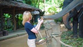 Kvinnliga turist- matningar och att dalta elefanterna på start på safarispåret lager videofilmer