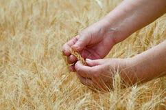 Kvinnliga upptagna händer rymmer öron av rågvete på ett jordbruks- fält, ett symbol av landet arkivbild
