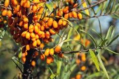 Kvinnliga växter för Hippophae rhamnoides med fruktbärdetaljen, gemensam buske för havsbuckthorn royaltyfri fotografi
