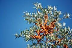 Kvinnliga växter för Hippophae rhamnoides med fruktbärdetaljen, gemensam buske för havsbuckthorn royaltyfria bilder