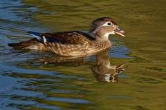 Kvinnliga Wood Duck Calling Royaltyfri Fotografi