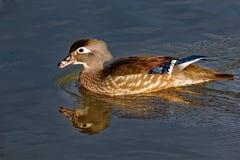Kvinnliga Wood Duck Calling Arkivbild