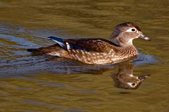 Kvinnliga Wood Duck Floating royaltyfria foton