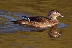 Kvinnliga Wood Duck Floating Royaltyfria Foton