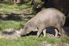 KvinnligBuru bairusa, Babyrousababyrussa Royaltyfri Fotografi