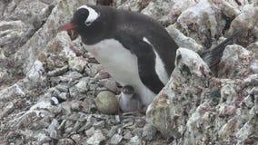 KvinnligGentoo pingvin som sitter i ett rede med två fågelungar och matar dem arkivfilmer