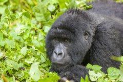 kvinnliggorilla rwanda Royaltyfri Fotografi
