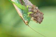 Kvinnliggräshoppa Arkivbild