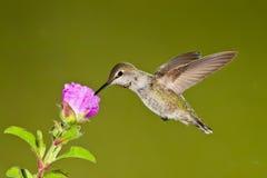 kvinnlighummingbird Arkivfoto