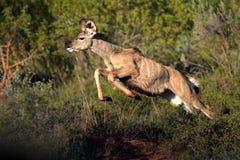 KvinnligKudu antilop på flyttningen Arkivfoto