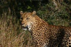 kvinnligleopard Royaltyfri Fotografi