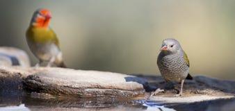 KvinnligMelba Finch dricksvatten från vaggar bredvid dammet Royaltyfri Fotografi