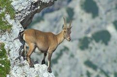 Kvinnlign av den alpina stenbocken vaggar geten Fotografering för Bildbyråer