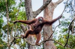 Kvinnlign av orangutanget med en behandla som ett barn i ett träd Indonesien Ön av Kalimantan Borneo Arkivbild