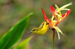 Kvinnlign Olive Backed Sunbird klamra sig fast intill den Heliconia växten Royaltyfri Fotografi